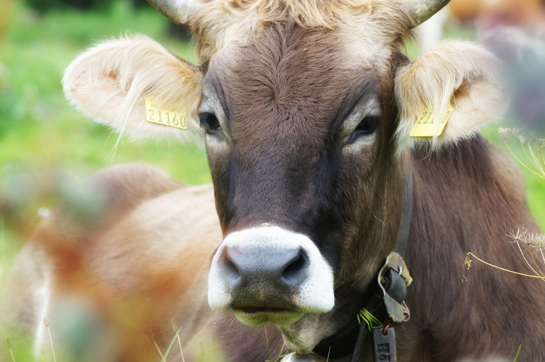 Wunderschöne Kuh, hoffentlich hat sie ein langes Leben