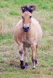 Lauf Pferdchen