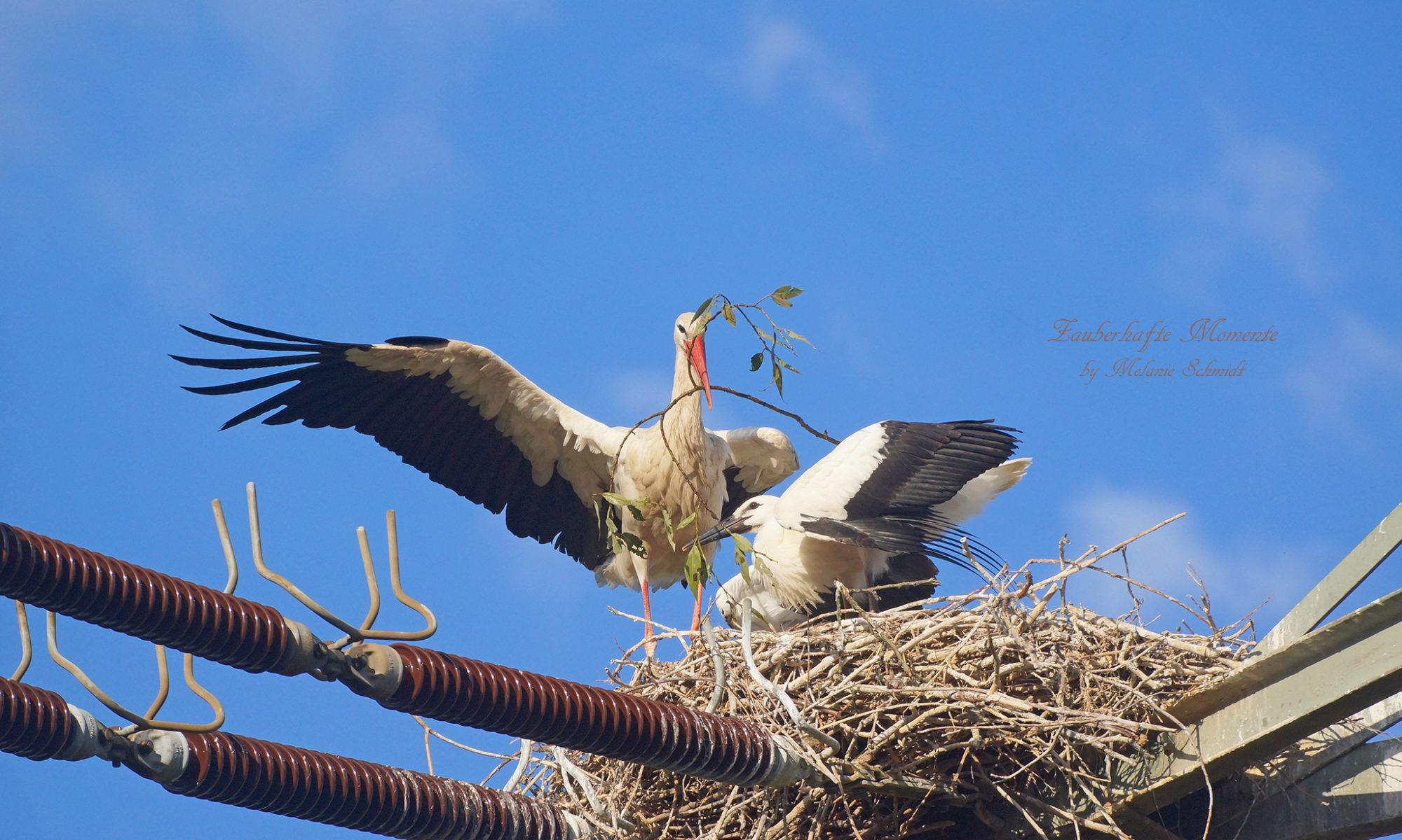 Der Storchen Nachwuchs kann fliegen